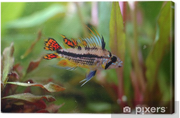 Obraz na płótnie Apistograma - Zwierzęta żyjące pod wodą