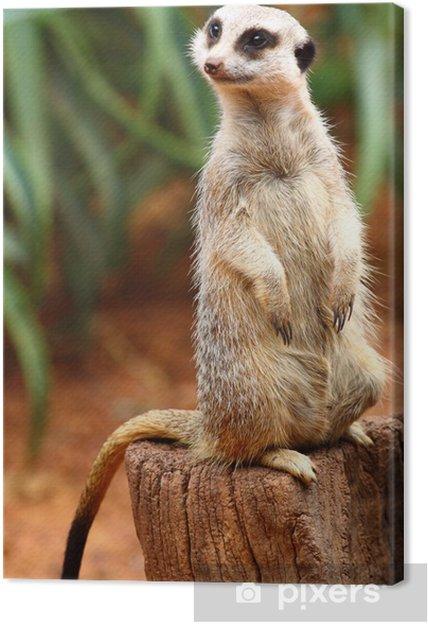 Obraz na płótnie Australijski Meerkat - Oceania
