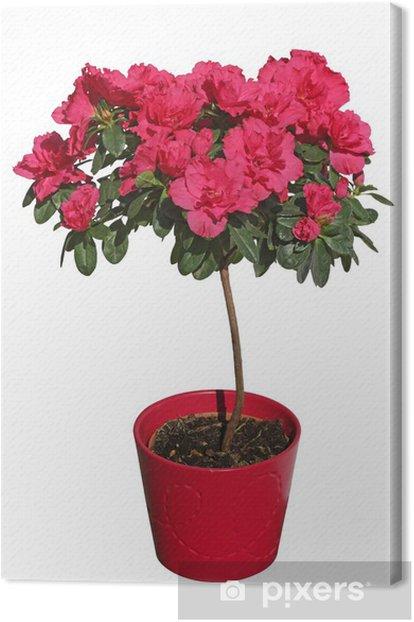Obraz na płótnie Azalia japońska - Kwiaty