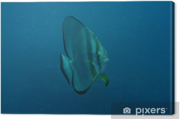 Obraz na płótnie Batfish - Zwierzęta żyjące pod wodą