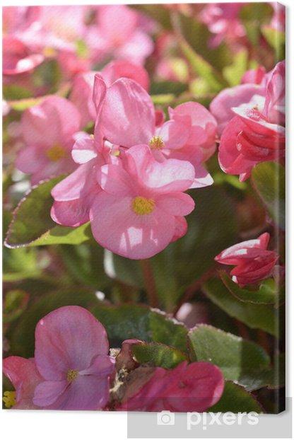 Obraz na płótnie Begonia rośliny różowy kwiat, selektywne fokus - Kwiaty