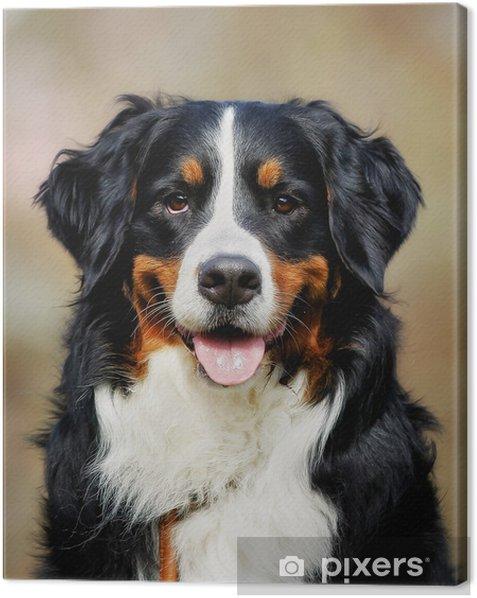 Obraz na płótnie Berneński pies pasterski - Ssaki