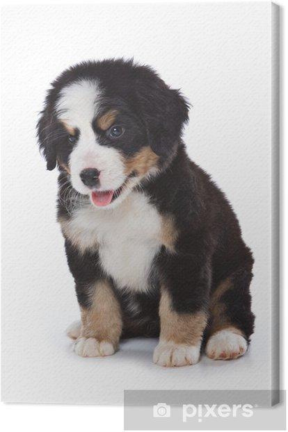 Obraz na płótnie Berneński puppy na białym tle - Ssaki
