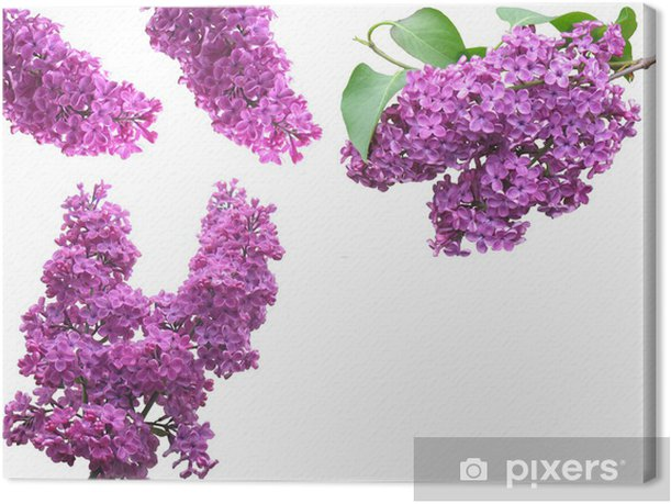 Obraz na płótnie Bez - Kwiaty
