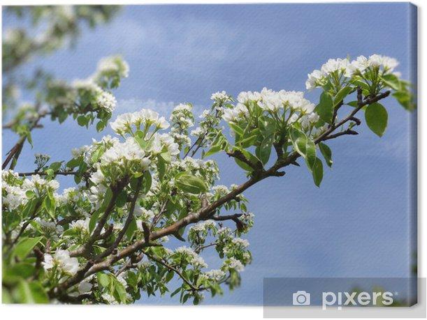 Obraz na płótnie Białe kwiaty wiśni. - Drzewa