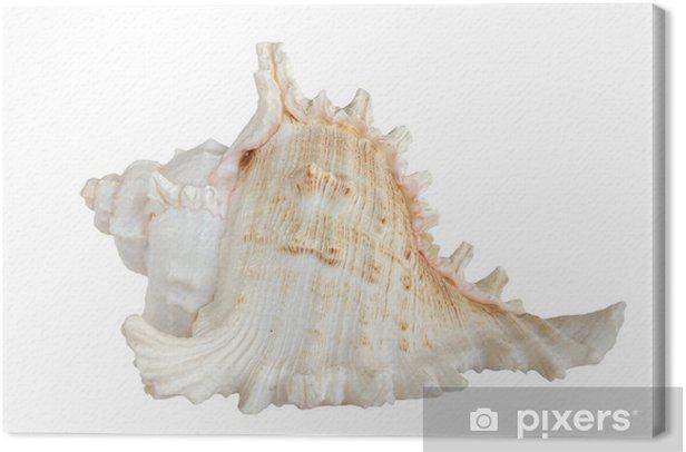 Obraz na płótnie Białej muszli morskich (na czarnym tle) - Zwierzęta żyjące pod wodą