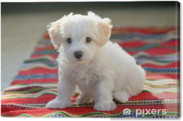 Obraz na płótnie Biały szczeniak maltański pies siedzi na dywanie - Zwierzęta