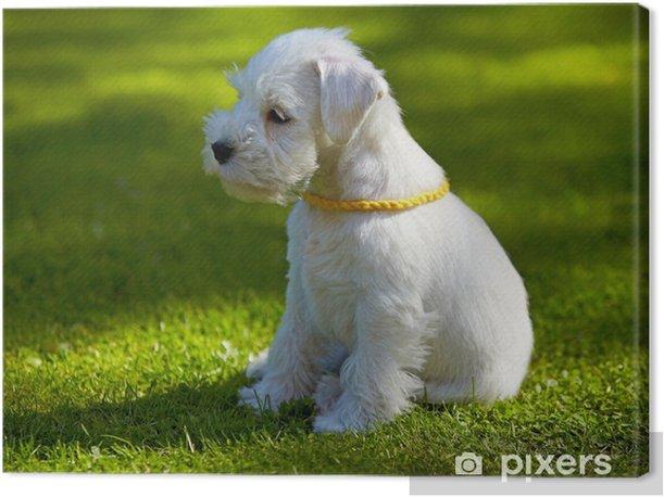 Obraz na płótnie Biały sznaucer miniaturowy puppy - Ssaki