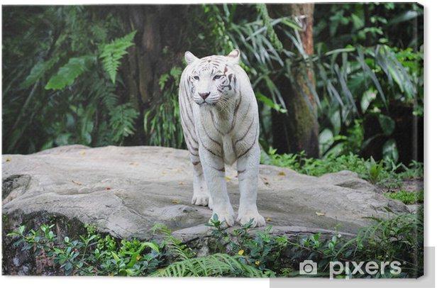 Obraz na płótnie Biały tygrys - Azja