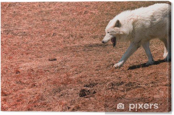 Obraz na płótnie Biały wilk - Ssaki