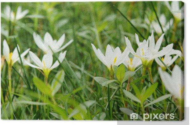Obraz na płótnie Biały zephyranthus carinata - Pory roku