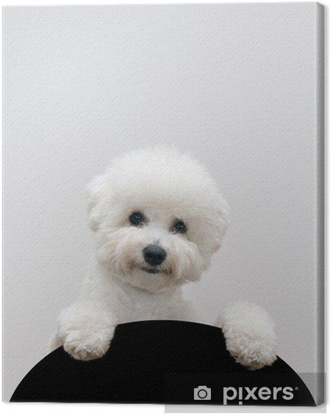 Obraz na płótnie Bichon frise pies - Ssaki