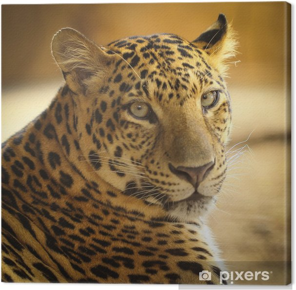 Obraz na płótnie Bliska twarz jaguar zwierząt - Ssaki