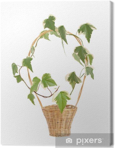 Obraz na płótnie Bluszcz Hedera canariensis Willd w wikliny - Rośliny
