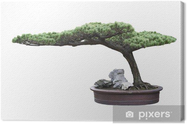 Obraz na płótnie Bonsai sosna - Drzewa