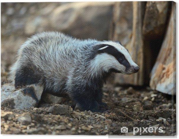 Obraz na płótnie Borsuki w ich naturalnym środowisku - Ssaki