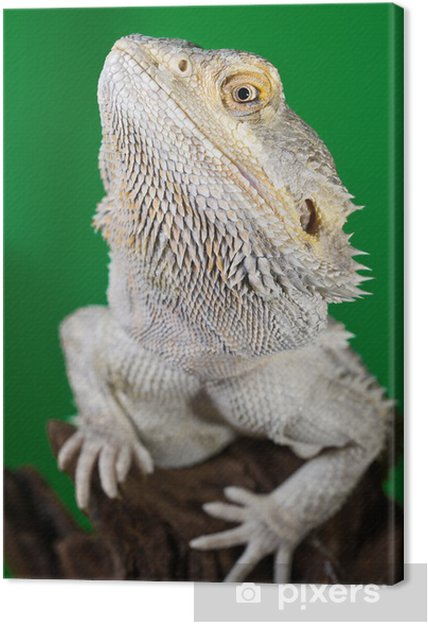 Obraz na płótnie Brodaty smok jaszczurka na oddział na zielonym niewyraźne backg - Fikcyjne zwierzęta