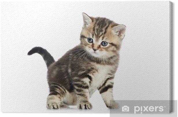 Obraz na płótnie Brytyjski krótkowłosy kitten Kot samodzielnie - Ssaki