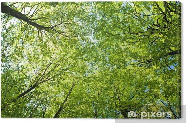 Obraz na płótnie Buki w górę, niebo - Drzewa