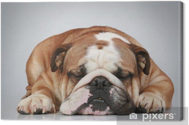Obraz na płótnie Buldog angielski leżącego na szarym tle - Ssaki