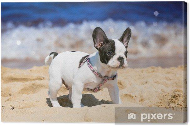 Obraz na płótnie Buldog francuski puppy gry na plaży - Buldogi francuskie