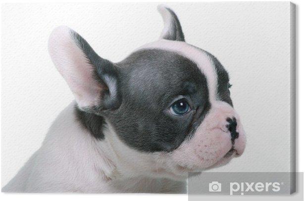 Obraz Na Płótnie Buldog Francuski Puppy Portret Niebieskie Oczy Pixers żyjemy By Zmieniać