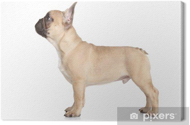 Obraz na płótnie Buldog francuski puppy stojących - Ssaki