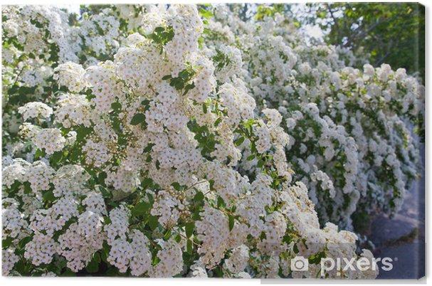 Obraz na płótnie Bush z białym Spirea kwiaty-Piękna. (Spirea x vanhouttei) - Pory roku