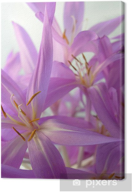 Obraz na płótnie Calchicum kwiat - Kwiaty