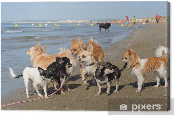 Obraz na płótnie Chihuahua na plaży - Ssaki
