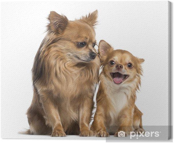 Obraz na płótnie Chihuahua siedzi i patrząc do szczęśliwego chihuahua - Ssaki