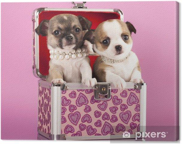 Obraz na płótnie Chihuahua szczenięta w klatce piersiowej - Ssaki