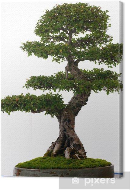 Obraz na płótnie Chiński bonsai wiąz - Drzewa