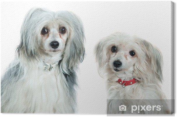 Obraz na płótnie Chiński grzywacz psy - Ssaki
