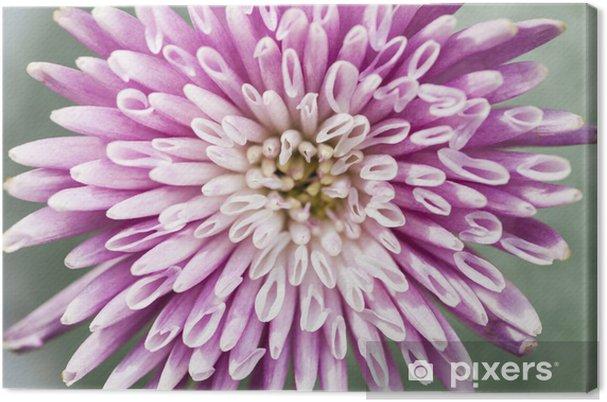 Obraz na płótnie Chryzantema kwiat bliska - Kwiaty