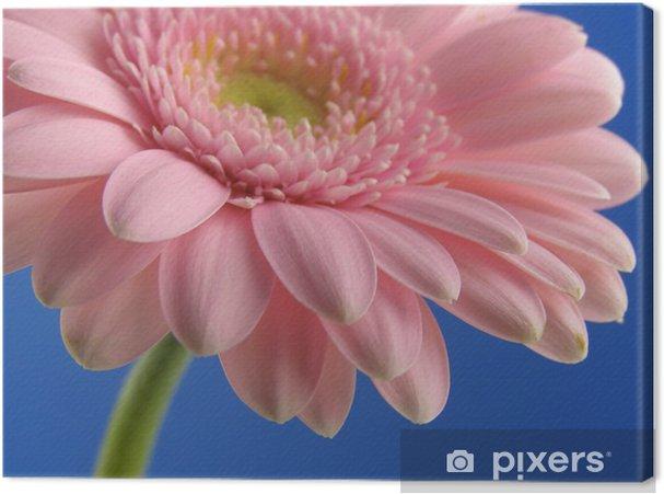 Obraz na płótnie Close-up kolorowych różowym Gerbera na niebieskim tle - Kwiaty