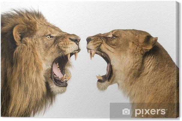 Obraz na płótnie Close-up z Lion i Lioness ryk na siebie - Tematy