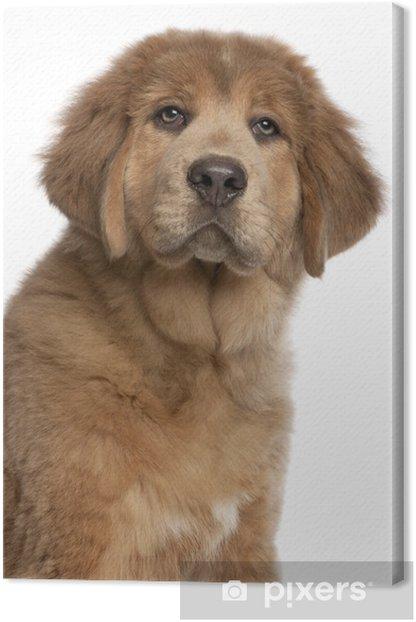 Obraz na płótnie Close-up z Mastiff tybetański szczeniaka, 3 miesiące - Ssaki