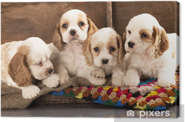 Obraz na płótnie Cocker spaniel puppy - Ssaki