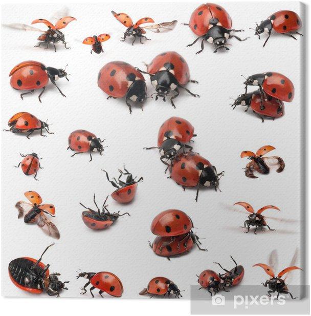 Obraz na płótnie Collection of Seven miejscu biedronki, Coccinella septempunctata - Inne Inne