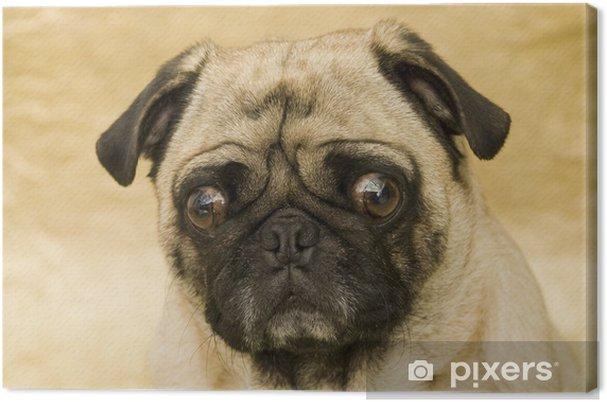 Obraz na płótnie Confused Pug - Mopsy