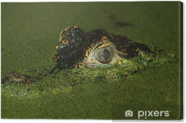 Obraz na płótnie Crocodile oczy - Życie