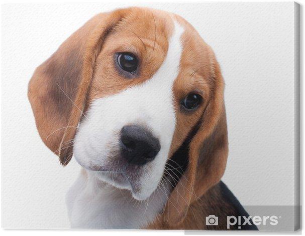 Obraz na płótnie Cute puppy beagle - Ssaki