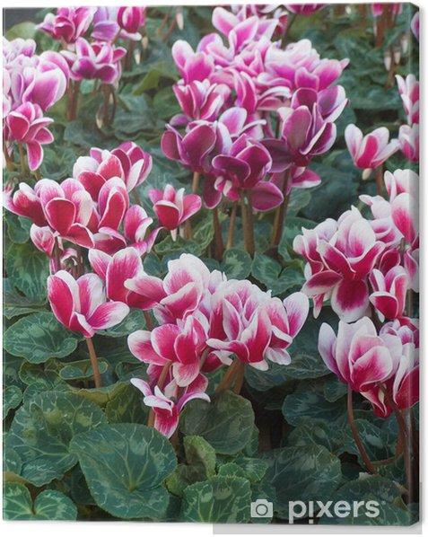 Obraz na płótnie Cyklamen - Kwiaty