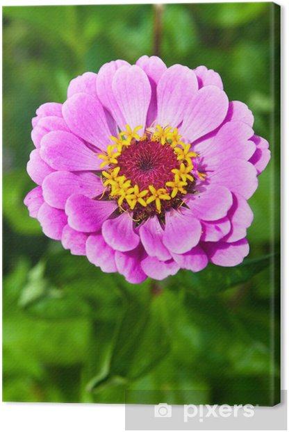 Obraz na płótnie Cynia - Kwiaty