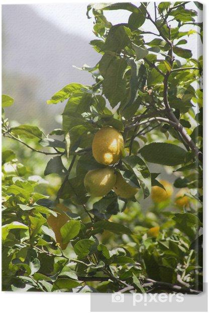 Obraz na płótnie Cytryny zamknąć się na drzewie - Drzewa