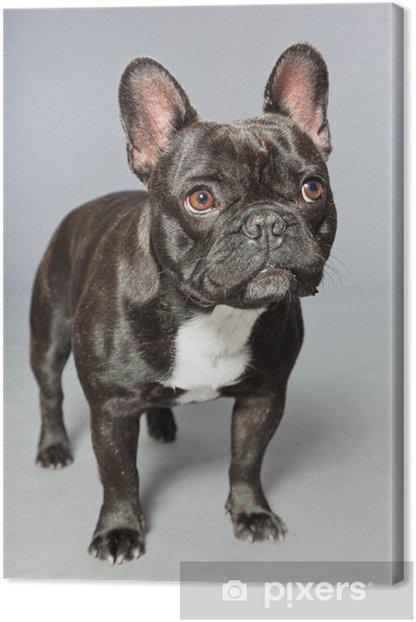 Obraz na płótnie Czarny buldog francuski. Biały chest. Funny dog. - Buldogi francuskie