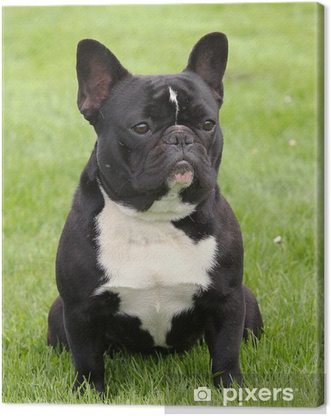 Obraz na płótnie Czarny Buldog francuski na łące - Buldogi francuskie