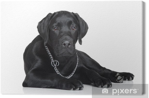 Obraz na płótnie Czarny labrador szczeniak - Ssaki