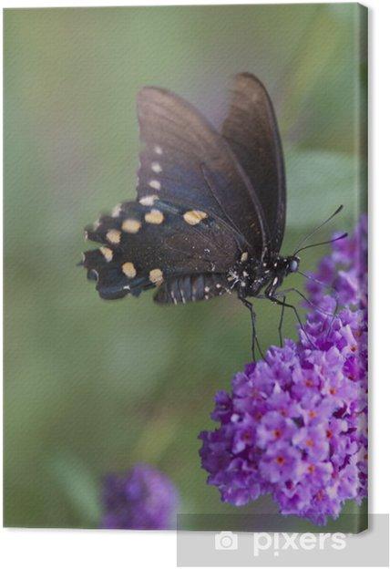 Obraz na płótnie Czarny nieustalona Butterfly (Papilio polyxenes) - Inne Inne